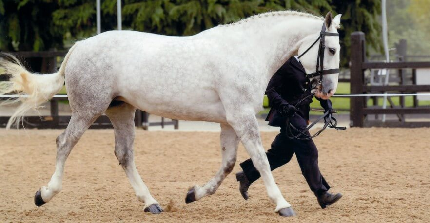 Physical Characteristics Irish Draught Horse